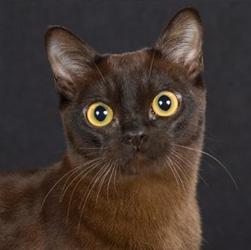 Burmese cat male vs female
